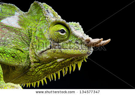 Horned Chameleon Stock Photos, Royalty.