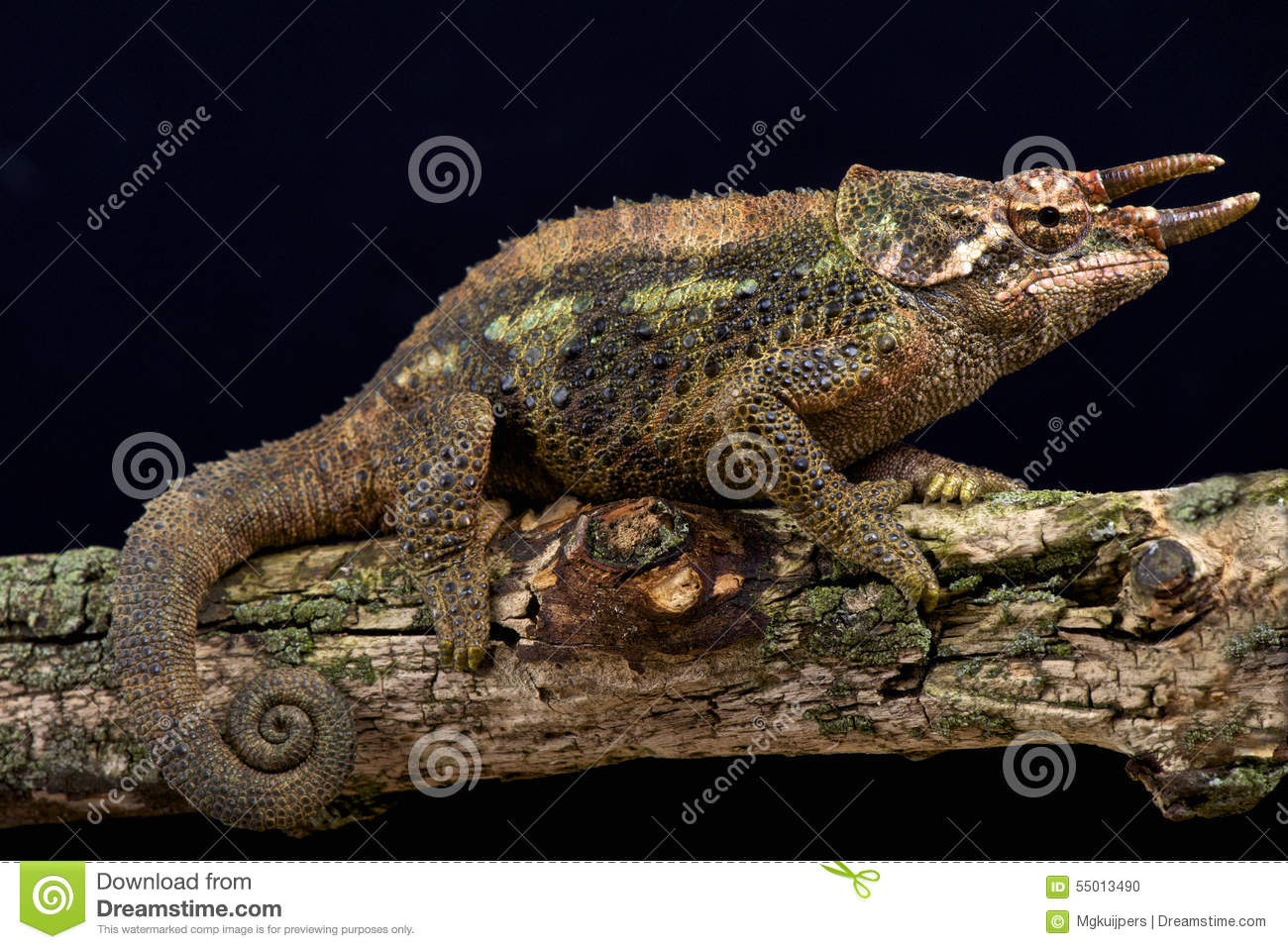 Werner's Three Horned Chameleon (Trioceros Werneri) Stock Photo.