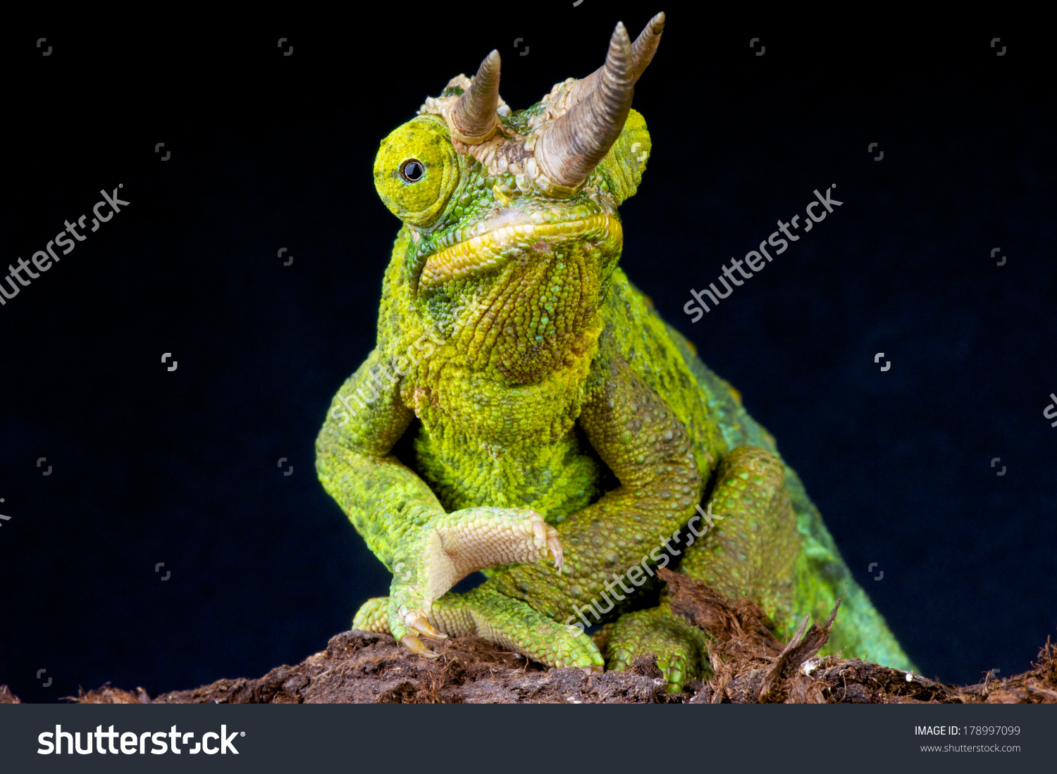 Three Horned Chameleon Trioceros Jacksonii Stock Photo 178997099.