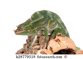 Jacksons three horned chameleon Images and Stock Photos. 22.