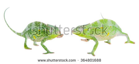 Three Horned Chameleon Stock Photos, Royalty.