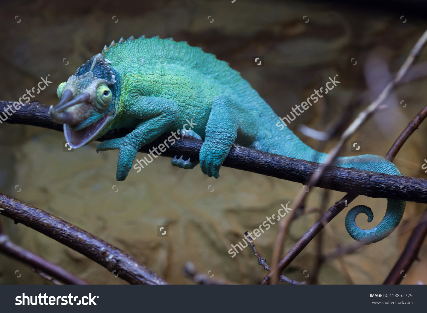 Jacksons Chameleon Trioceros Jacksonii Known Kikuyu Stock Photo.