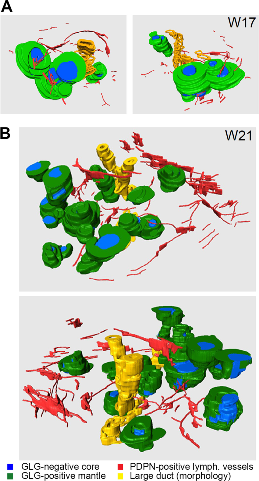 Spatial arrangement of lymphatic vessels and islets of.