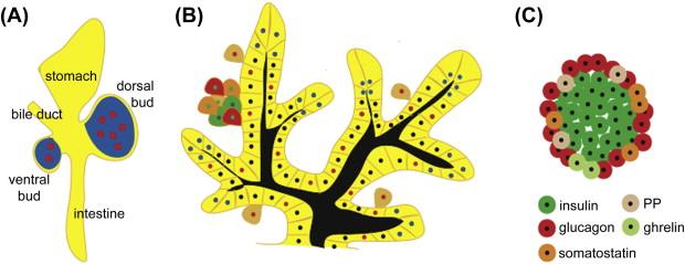 Neurogenins.