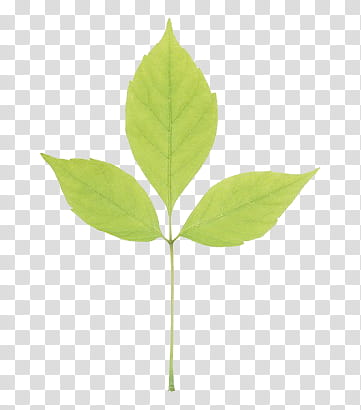 Leaves P, three green leaves transparent background PNG.
