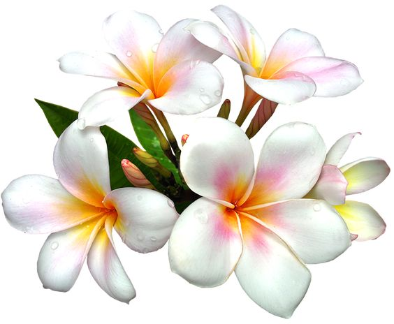 White Large PNG Flower Clipart.