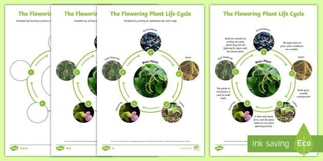 Life Cycle of a Flowering Plant.