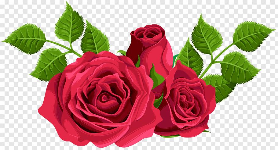 Three red roses illustration, Garden roses Centifolia roses.