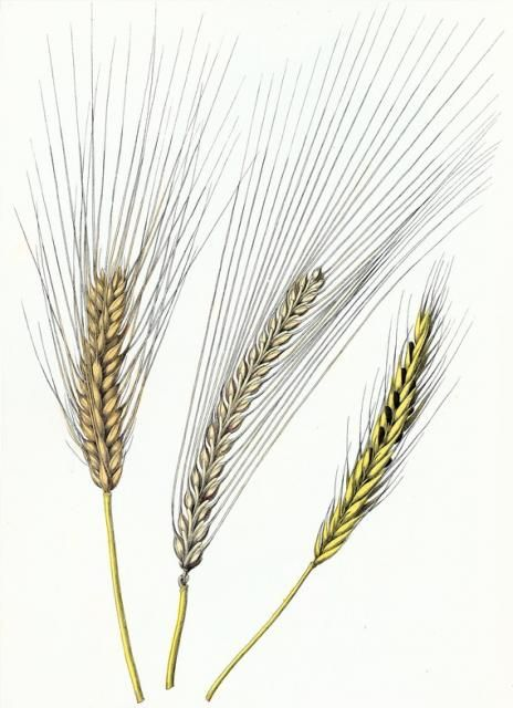 Three sprigs of wheat clipart clipart images gallery for.