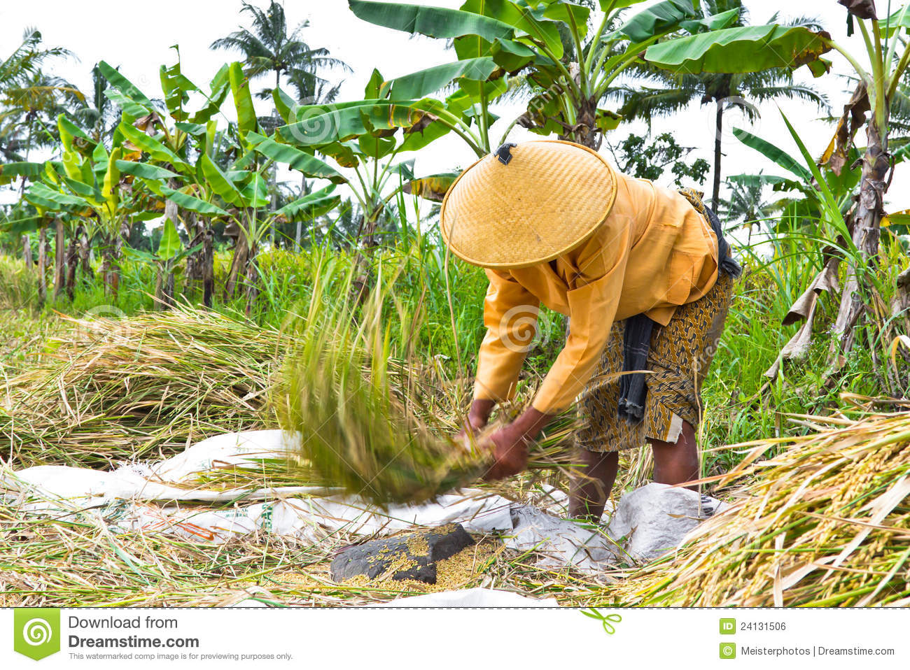 Woman Threshing Rice In Paddy Field Editorial Photo.