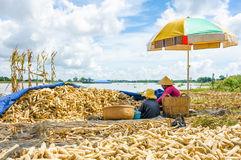 Corn Threshing Waste Royalty Free Stock Images.