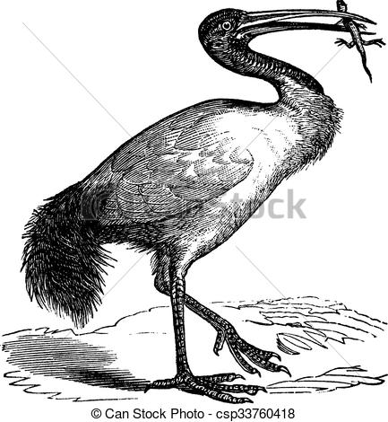 Vector Clip Art of African Sacred Ibis or Threskiornis aethiopicus.
