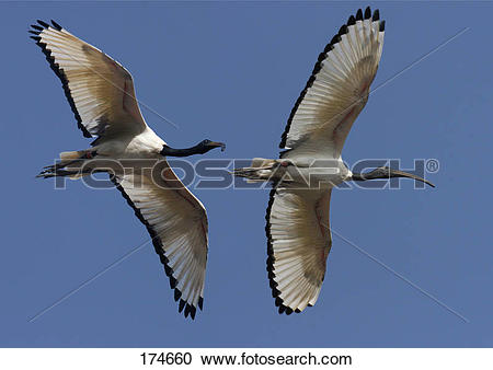 Stock Photography of Sacred Ibis (Threskiornis aethiopicus). Two.