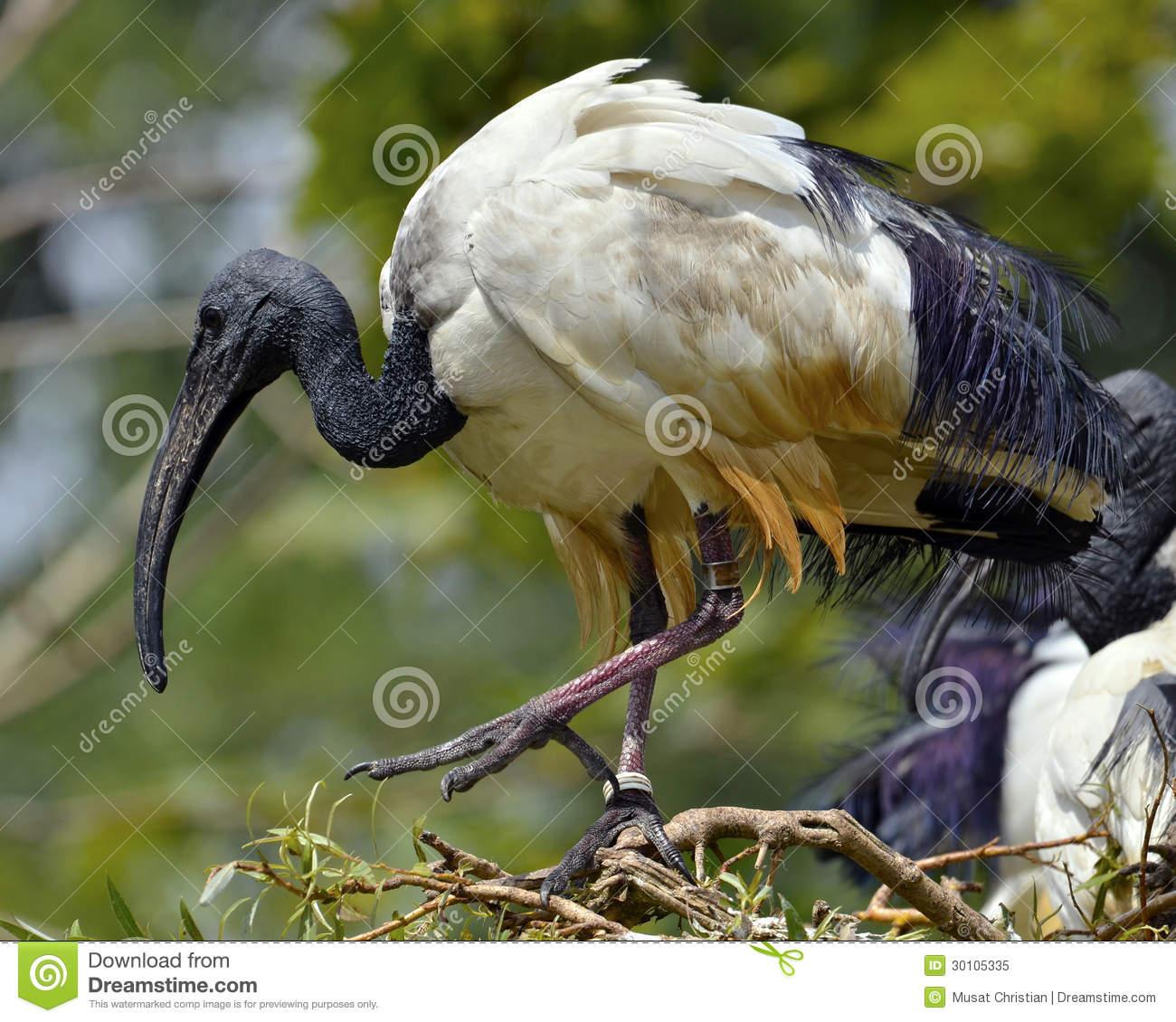 African Sacred Ibis Threskiornis Aethiopicus Stock Photos, Images.