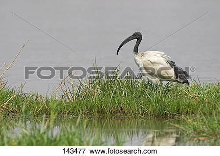 Picture of sacred ibis / Threskiornis aethiopicus 143477.