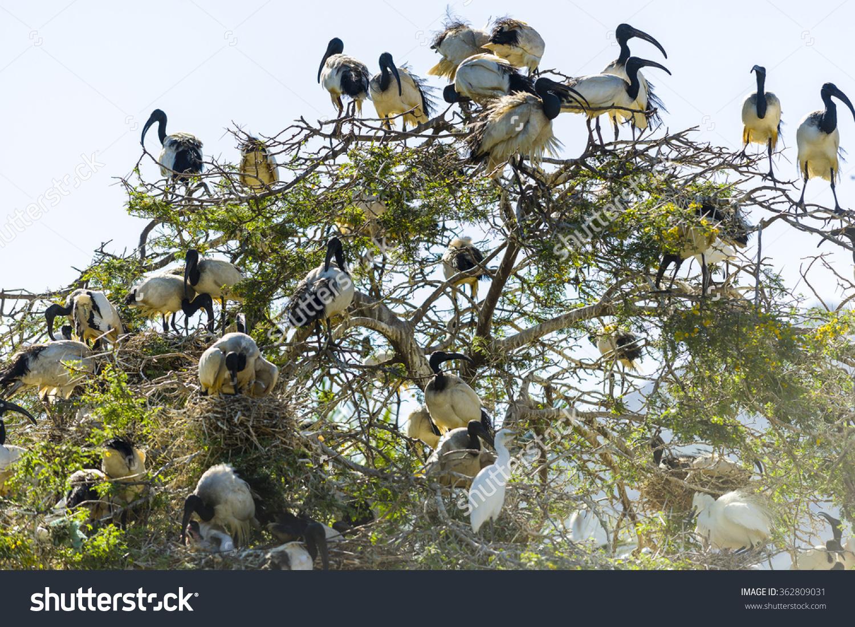 African Sacred Ibis Threskiornis Aethiopicus Flock Stock Photo.