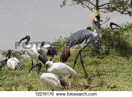 Stock Photography of African sacred ibis (Threskiornis aethiopicus.