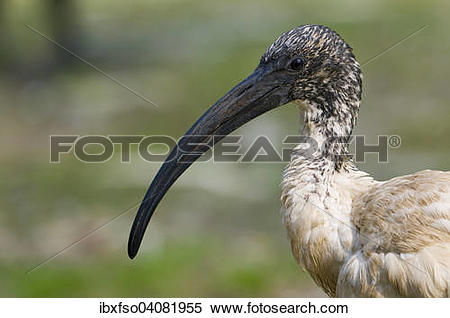 "Stock Image of ""African sacred ibis (Threskiornis aethiopicus."