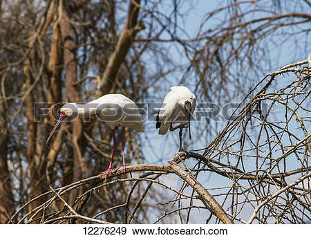 Stock Photograph of African spoonbill (Platalea alba) and African.