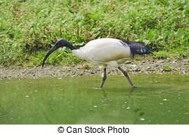 Stock Photographs of African Sacred Ibis.