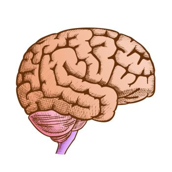 cerebrum.
