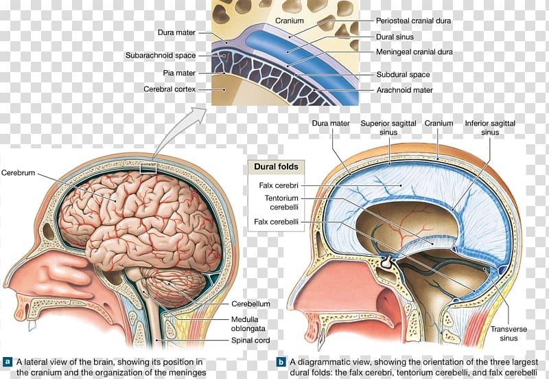 Brain Meninges Skull Cranial cavity Anatomy, meninges of the.