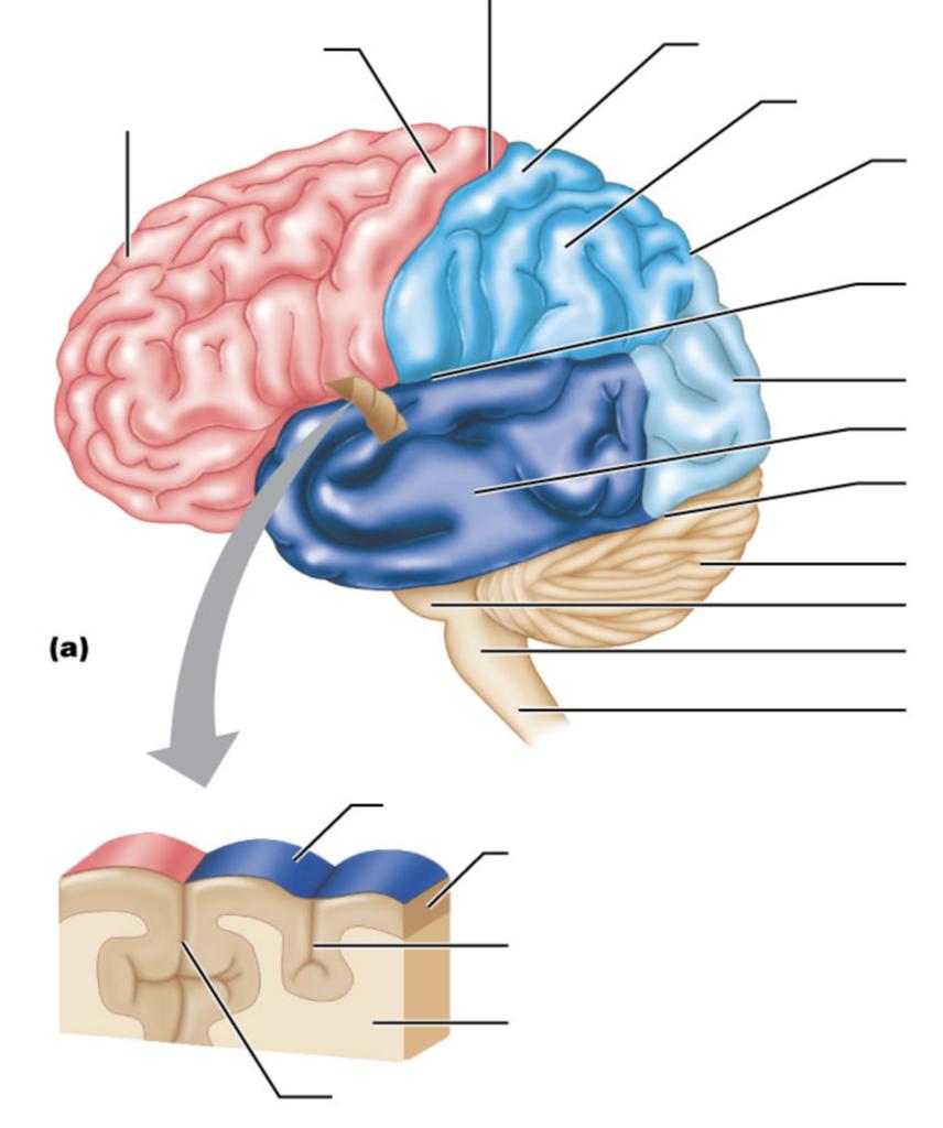 External Brain Features (Side View) Diagram.