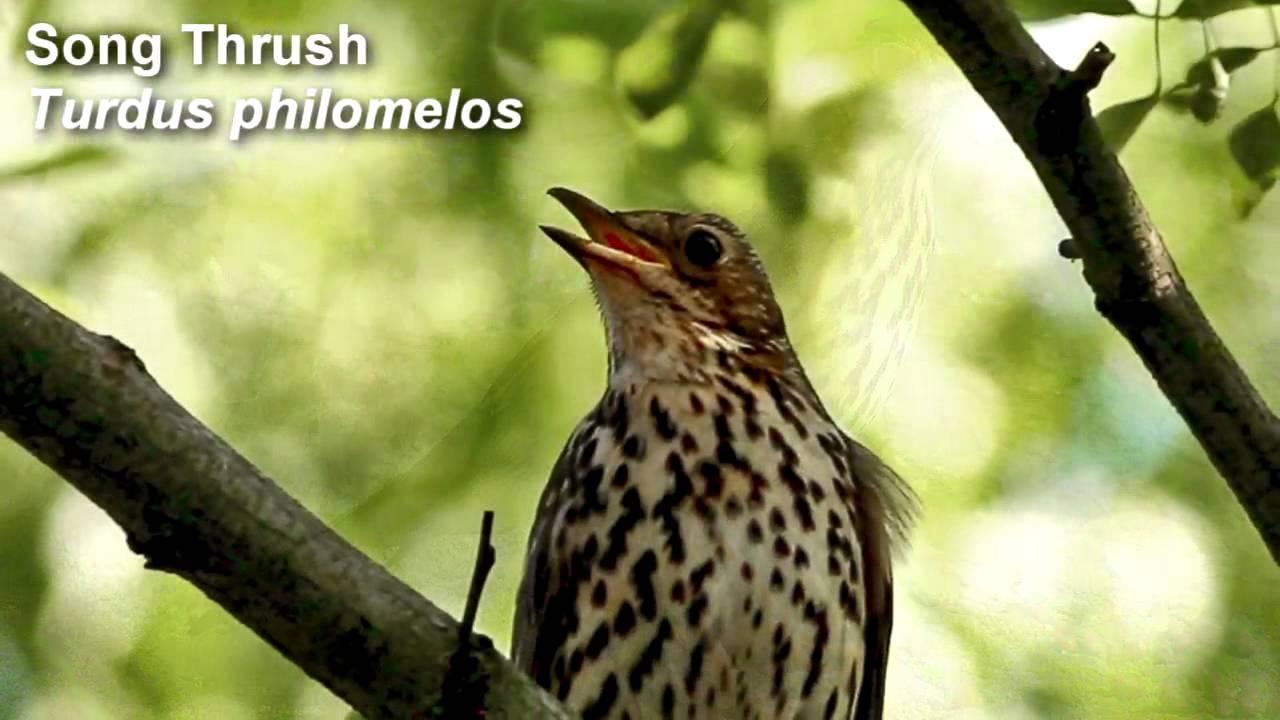 Song Thrush Birdsong.