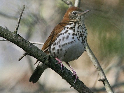 Wood Thrush, Identification, All About Birds.