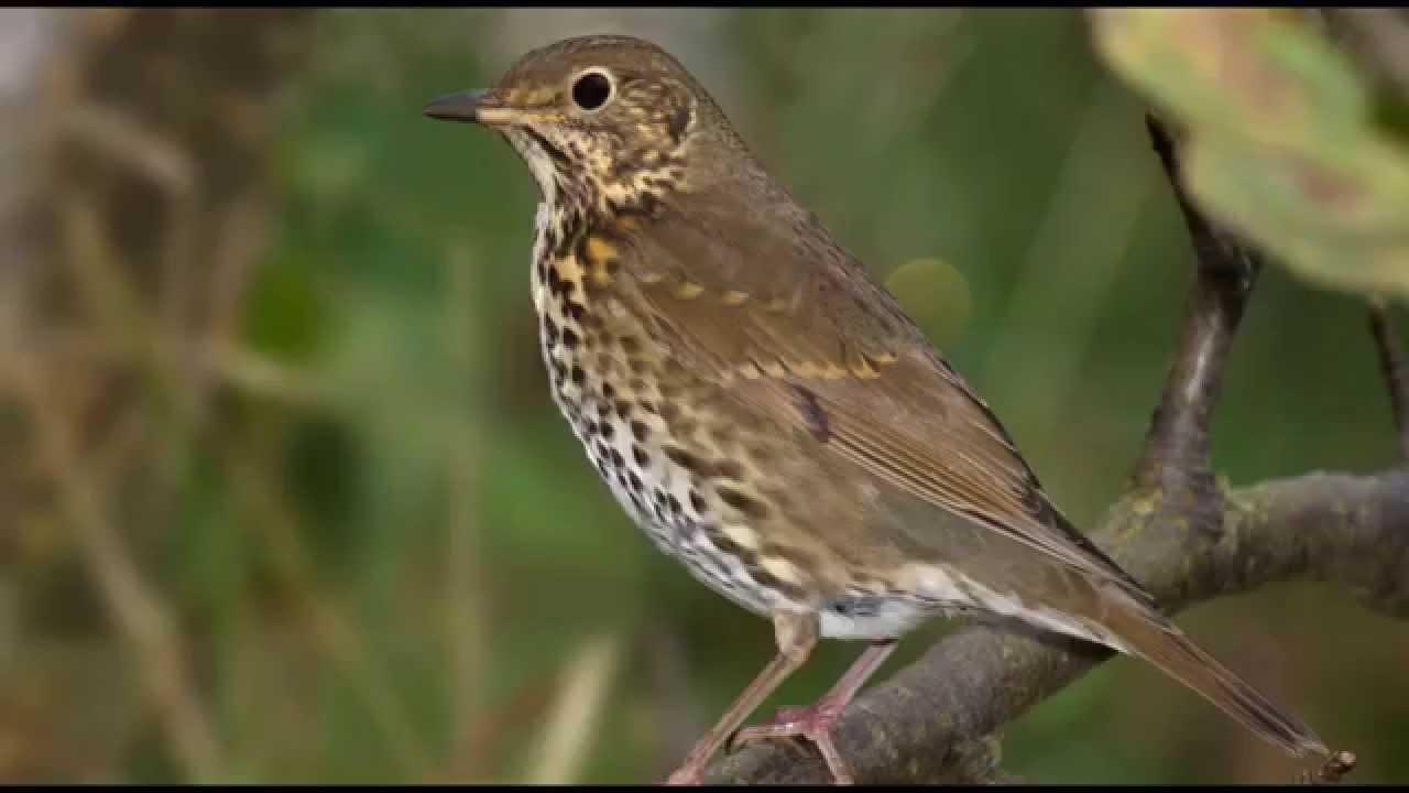 Song Thrush Bird Call Bird Song.
