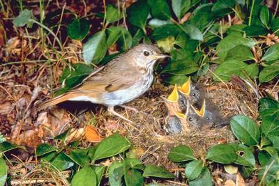 Wood Thrush Bird Symbolism.
