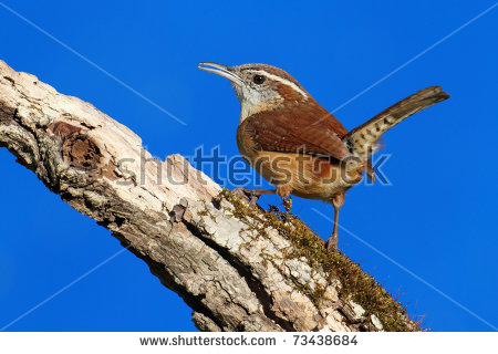 Carolina Wren Stock Images, Royalty.