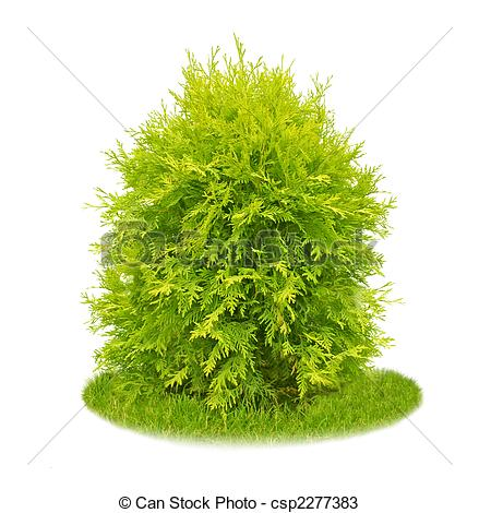 Thuja Images and Stock Photos. 1,783 Thuja photography and royalty.