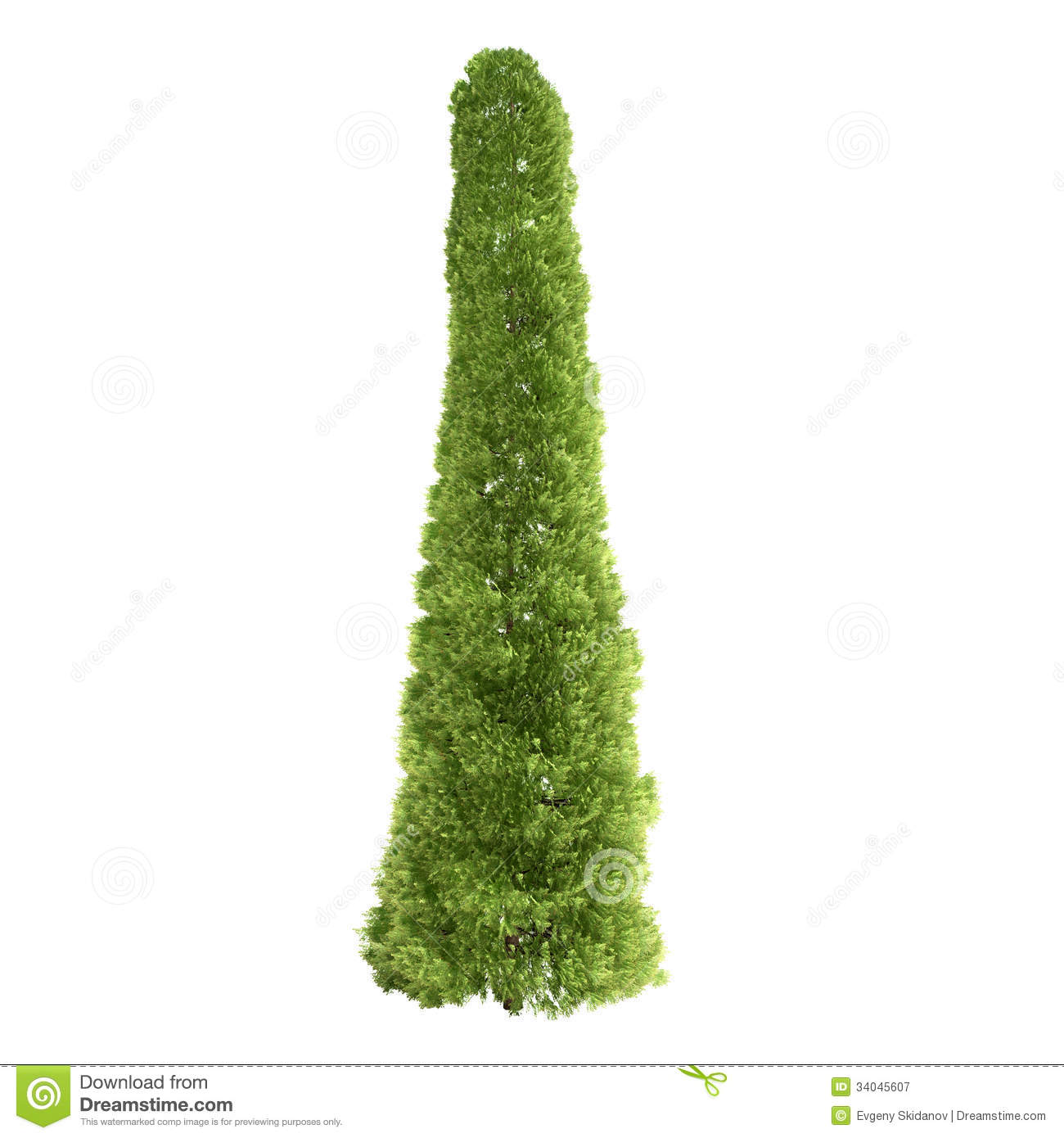 Tall Thuja Tree Isolated Royalty Free Stock Photography.