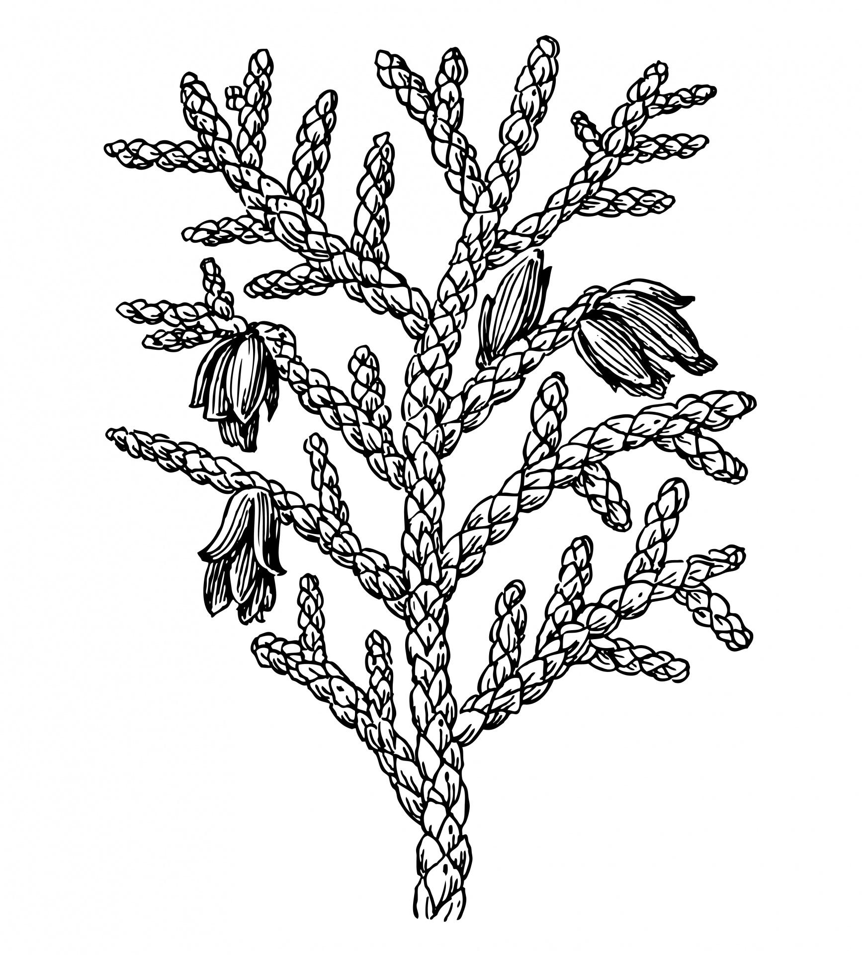 Thuja Plant Clipart Illustration Free Stock Photo.