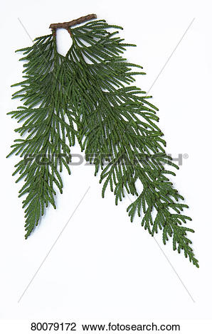 Stock Photo of DEU, 2010: Western Red Cedar (Thuja plicata Excelsa.