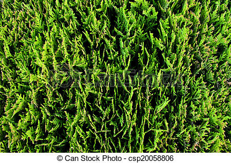Stock Photography of Thuja Occidentalis.