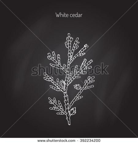 Thuja Occidentalis Stock Vectors & Vector Clip Art.