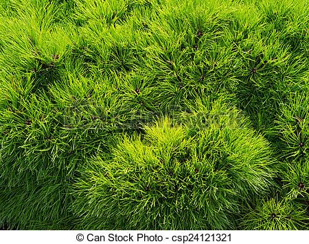 Stock Photo of Thuja occidentalis background, texture.