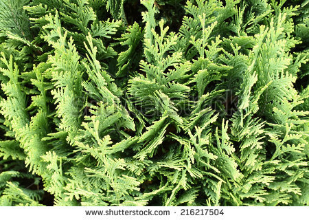 Thuja Occidentalis Stock Images, Royalty.