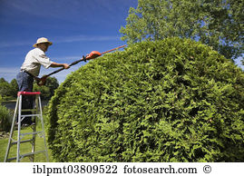 Thuja Stock Photo Images. 1,714 thuja royalty free images and.