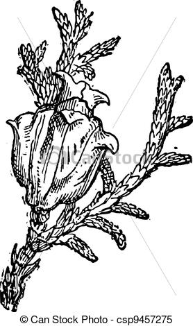Clipart Vector of Eastern White Cedar or Thuja occidentalis.