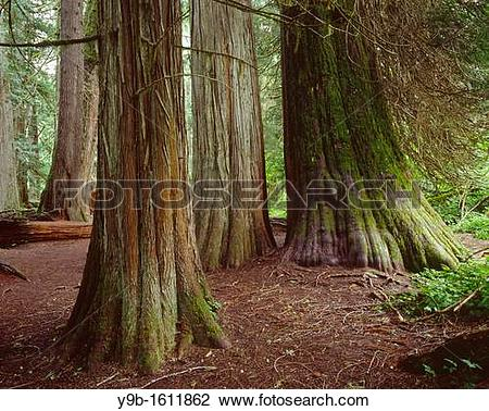 Stock Photo of Ancient western red cedars Thuja plicata, Grove of.