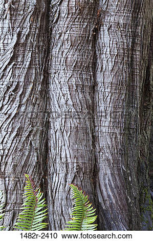 Stock Photography of Western red cedar (Thuja plicata) bark with.