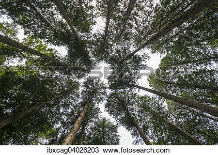 "Stock Photo of ""Treetops in a summer forest, Western Redcedar."