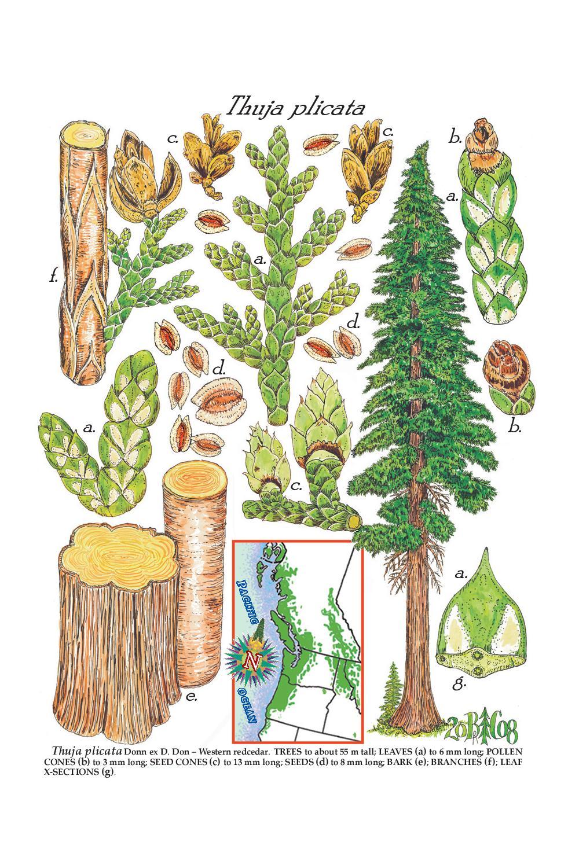 Forester Artist.