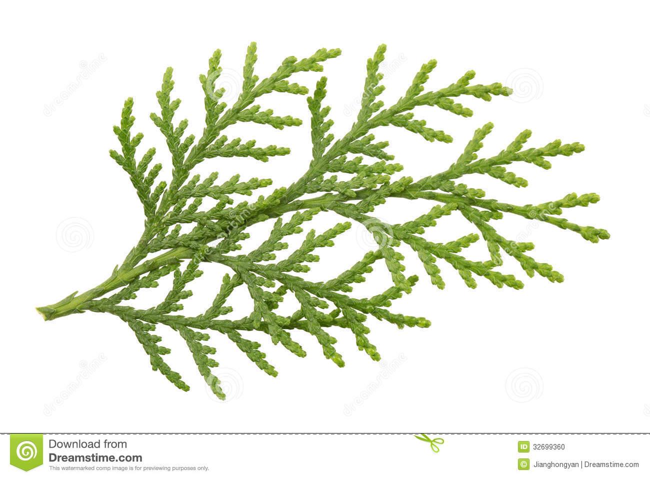 Leaves Of Pine Tree Stock Photo.