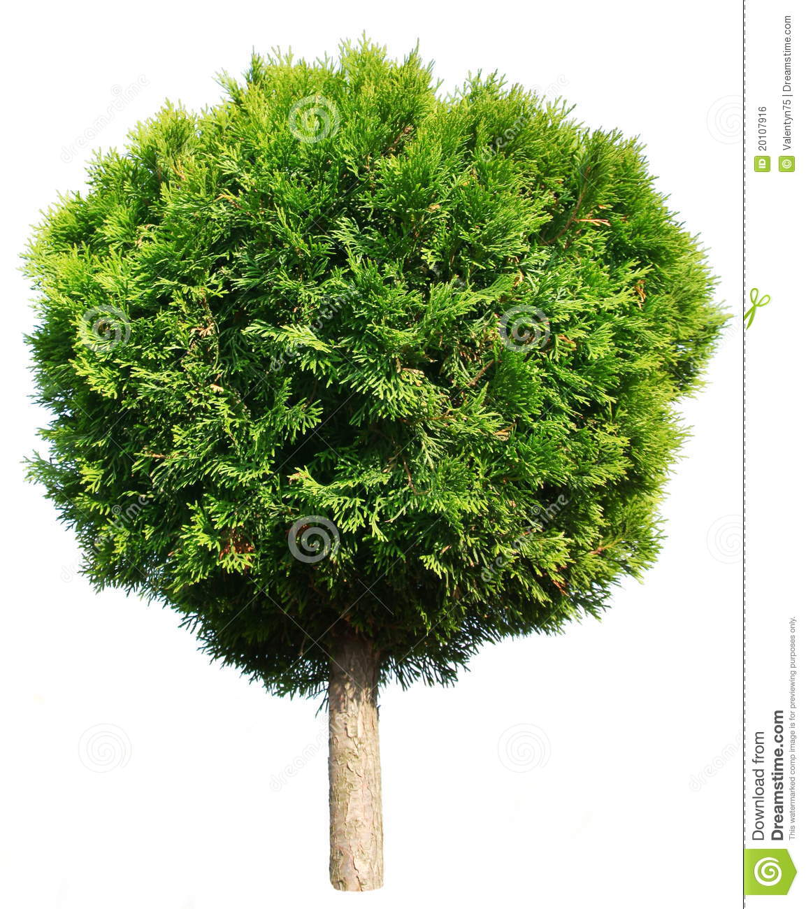 Thuja Tree Royalty Free Stock Image.