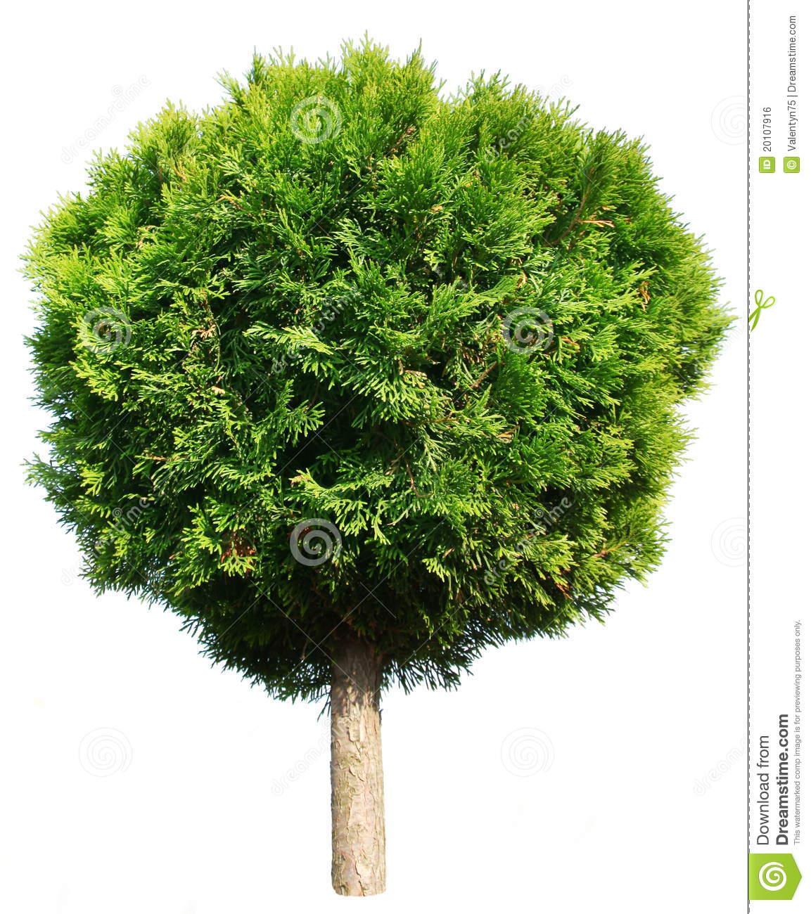 Thuja Tree Royalty Free Stock Image.