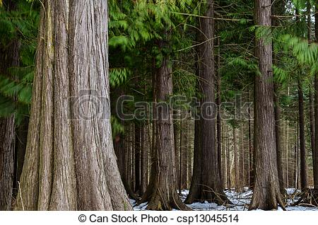 Stock Photography of Big thuja trees.